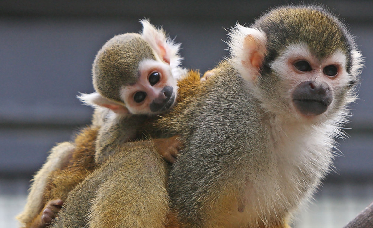 Squirrel monkeys in the Dominican Republic